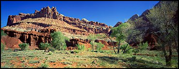 Cottonwoods in spring and Castle rock formation. Capitol Reef National Park (Panoramic color)