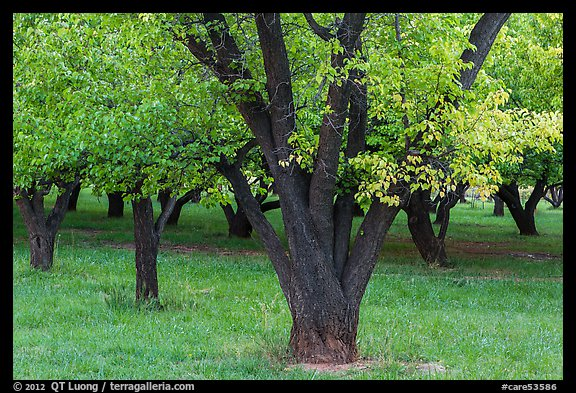 Historic Mulford Orchard, late summer. Capitol Reef National Park (color)