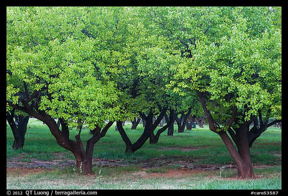 Fruit trees in Mulford Orchard. Capitol Reef National Park (color)