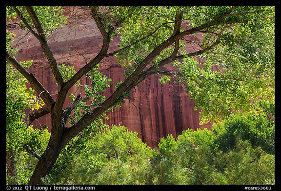 Cottonwood and red cliffs in late summer. Capitol Reef National Park (color)