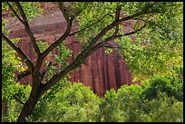 Cottonwood and red cliffs in late summer. Capitol Reef National Park, Utah, USA. (color)