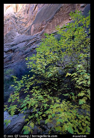 Maple in Surprise canyon. Capitol Reef National Park (color)