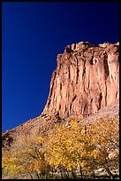 Cottonwods in fall foliage and tall cliffs near Fruita. Capitol Reef National Park, Utah, USA.