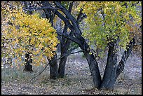 Orchard trees in fall colors, Fuita. Capitol Reef National Park, Utah, USA. (color)