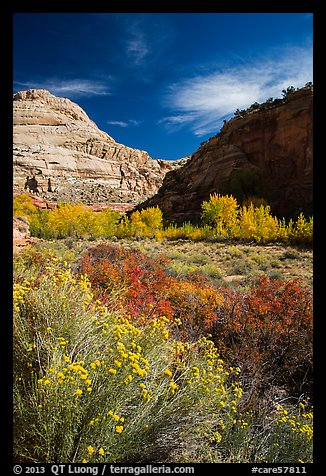 Blooming sage and cottonwoods in autum colors, Fremont River Canyon. Capitol Reef National Park (color)