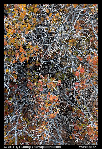 Branches and leaves in autumn. Capitol Reef National Park (color)