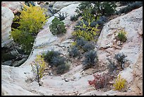Shrubs with fall foliage and sandstone ledges. Capitol Reef National Park, Utah, USA. (color)
