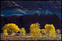 Cottonwood trees in the fall against shale. Capitol Reef National Park ( color)