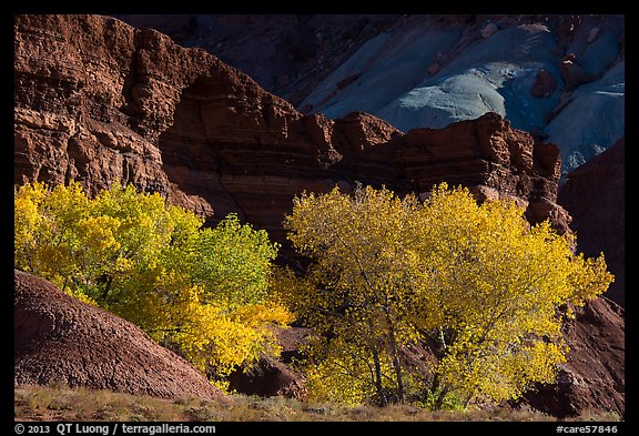 Cottonwood trees in autumn, Moenkopi Formation and Monitor Butte rocks. Capitol Reef National Park (color)