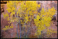 Aspen in fall foliage against red sandstone cliff. Capitol Reef National Park, Utah, USA. (color)