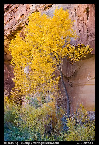 Cottonwood in fall foliage against sandstone cliff. Capitol Reef National Park (color)