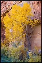 Cottonwood in fall foliage against sandstone cliff. Capitol Reef National Park, Utah, USA.