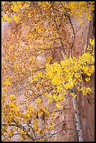 Aspen tree in autumn foliage against red cliff. Capitol Reef National Park, Utah, USA. (color)