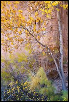 Tree and shrubs in autumn foliage against red cliff. Capitol Reef National Park, Utah, USA. (color)