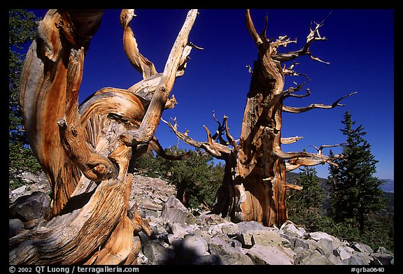 Bristlecone Pine trees near Wheeler Peak, morning. Great Basin National Park (color)