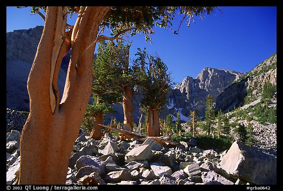 Bristlecone Pine trees and Wheeler Peak, morning. Great Basin National Park (color)