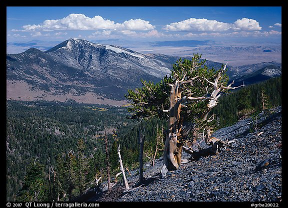Bristlecone pine tree on slope overlooking desert, Mt Washington. Great Basin National Park (color)