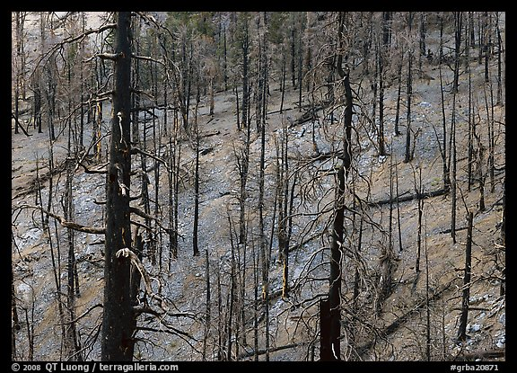 Forest of burned trees. Great Basin National Park (color)