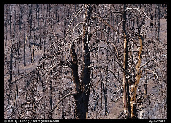 Burned Forest. Great Basin  National Park (color)