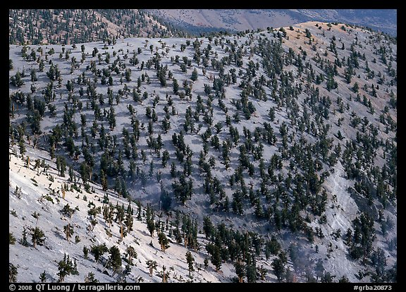 Hillside covered by forest of Bristlecone Pines near Mt Washington. Great Basin National Park (color)