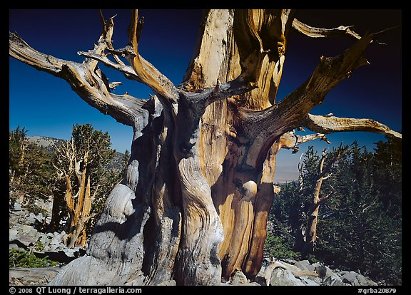 Bristelecone pine grove at the base of Wheeler Peak. Great Basin National Park (color)