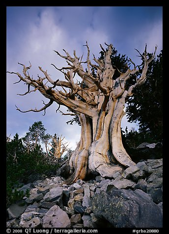 Ancient Bristlecone Pine, Wheeler Peak Basin, afternoon. Great Basin National Park (color)