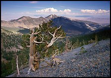 Bristelecone pines on Mt Washington, overlooking valley and distant ranges. Great Basin National Park ( color)