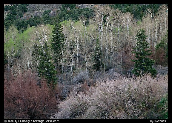 Tapestry of shrubs and trees in early spring. Great Basin  National Park (color)