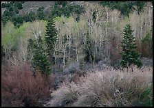 Tapestry of shrubs and trees in early spring. Great Basin National Park ( color)