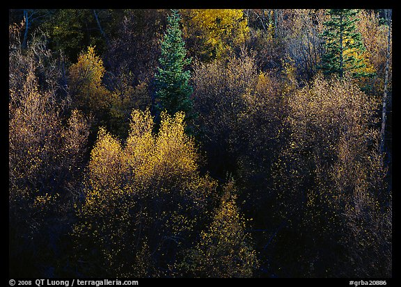 Autumn colors, Windy Canyon, late afternoon. Great Basin National Park (color)