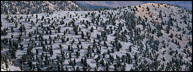 Hillside with Bristlecone pine forest. Great Basin National Park (Panoramic color)