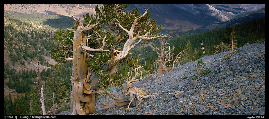 Bristlecone pine on rocky slope. Great Basin  National Park (color)