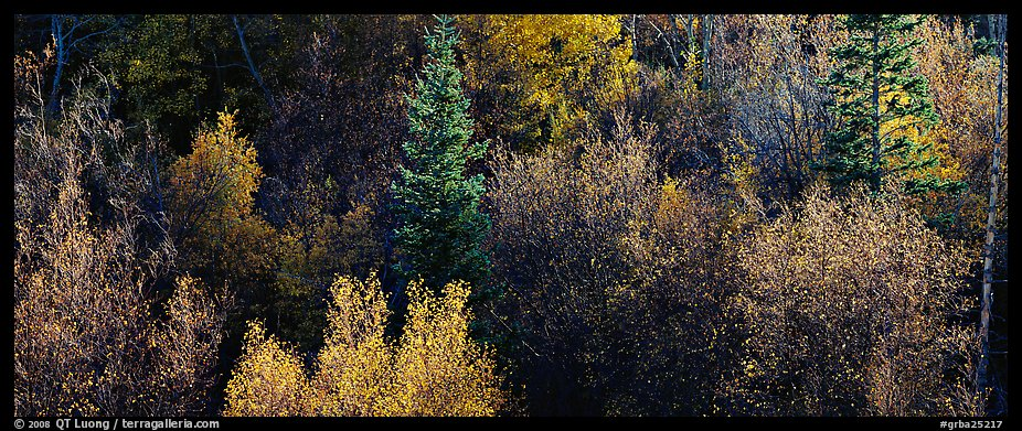Backlit autumn leaves on hillside. Great Basin  National Park (color)