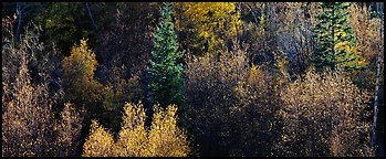 Backlit autumn leaves on hillside, Snake Creek. Great Basin National Park (Panoramic color)