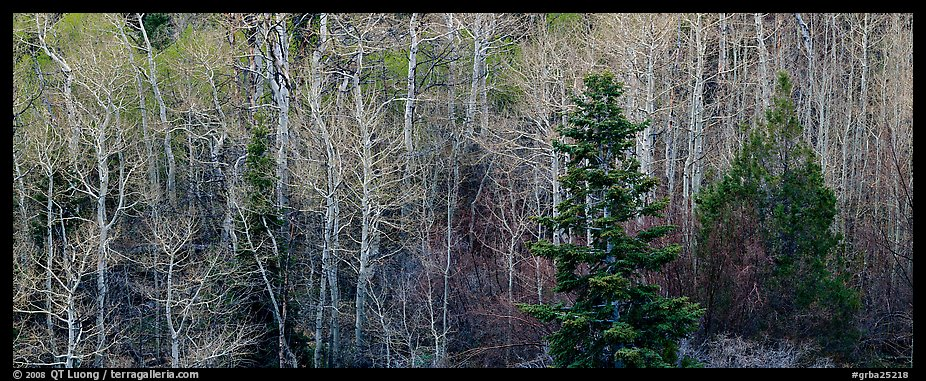 Trees in early spring. Great Basin  National Park (color)