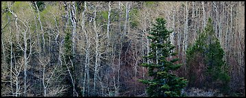 Trees in early spring. Great Basin National Park (Panoramic color)