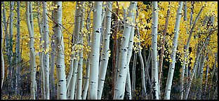 Autumn aspens, Windy Canyon, Snake Creek. Great Basin National Park (Panoramic color)