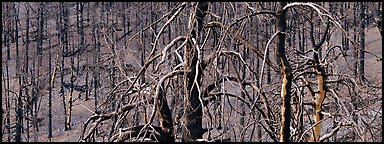 Burned trees landscape. Great Basin National Park (Panoramic color)