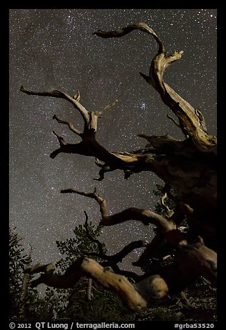 Twisted branches of bristlecone pine and stars. Great Basin National Park (color)