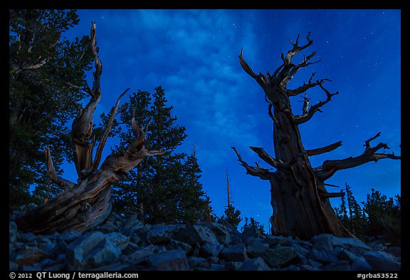Bristlecone pine trees with last stars at pre-dawn. Great Basin National Park (color)
