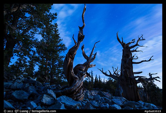 Bristlecone pine trees at twilight, Wheeler cirque. Great Basin National Park (color)