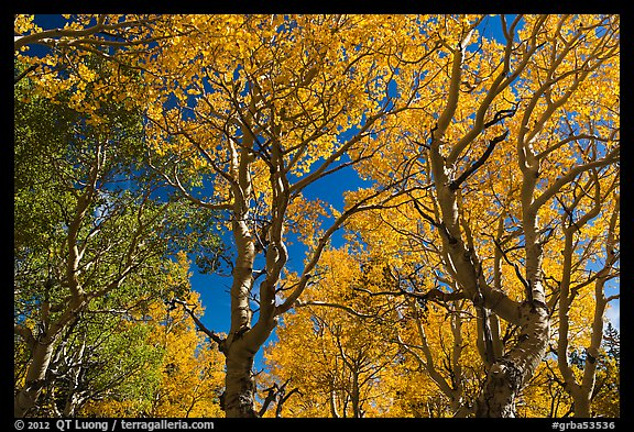Trees with leaves in autumn foliage. Great Basin National Park (color)