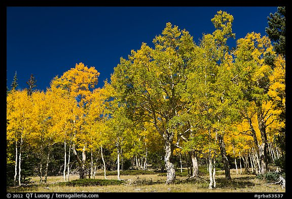 Trees in fall foliage. Great Basin National Park (color)