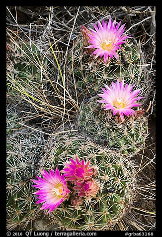 Cactus and pink blooms. Great Basin National Park (color)