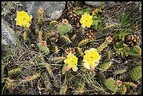 Close-up of cactus in blooms with fallen pinyon pine cones. Great Basin National Park ( color)