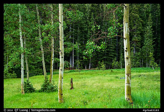 Aspen trees and meadow in summer. Great Basin National Park (color)