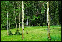 Aspen trees and meadow in summer. Great Basin National Park ( color)