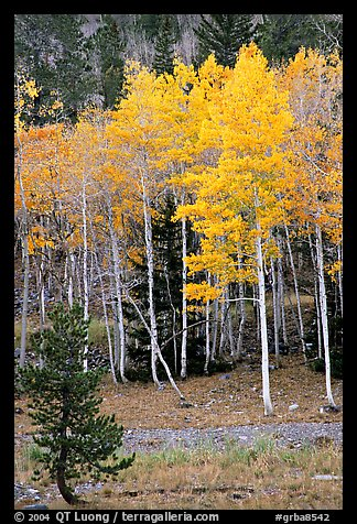 Aspen trees in fall color. Great Basin National Park (color)