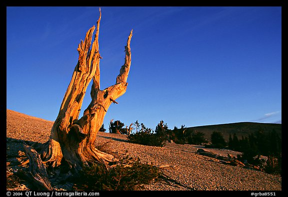 Barren slopes and dead bristlecone pine tree, Mt Washington, sunrise. Great Basin National Park, Nevada, USA.
