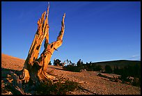 Barren slopes and dead bristlecone pine tree, Mt Washington, sunrise. Great Basin National Park, Nevada, USA. (color)